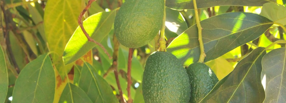 Avocado Grove Management